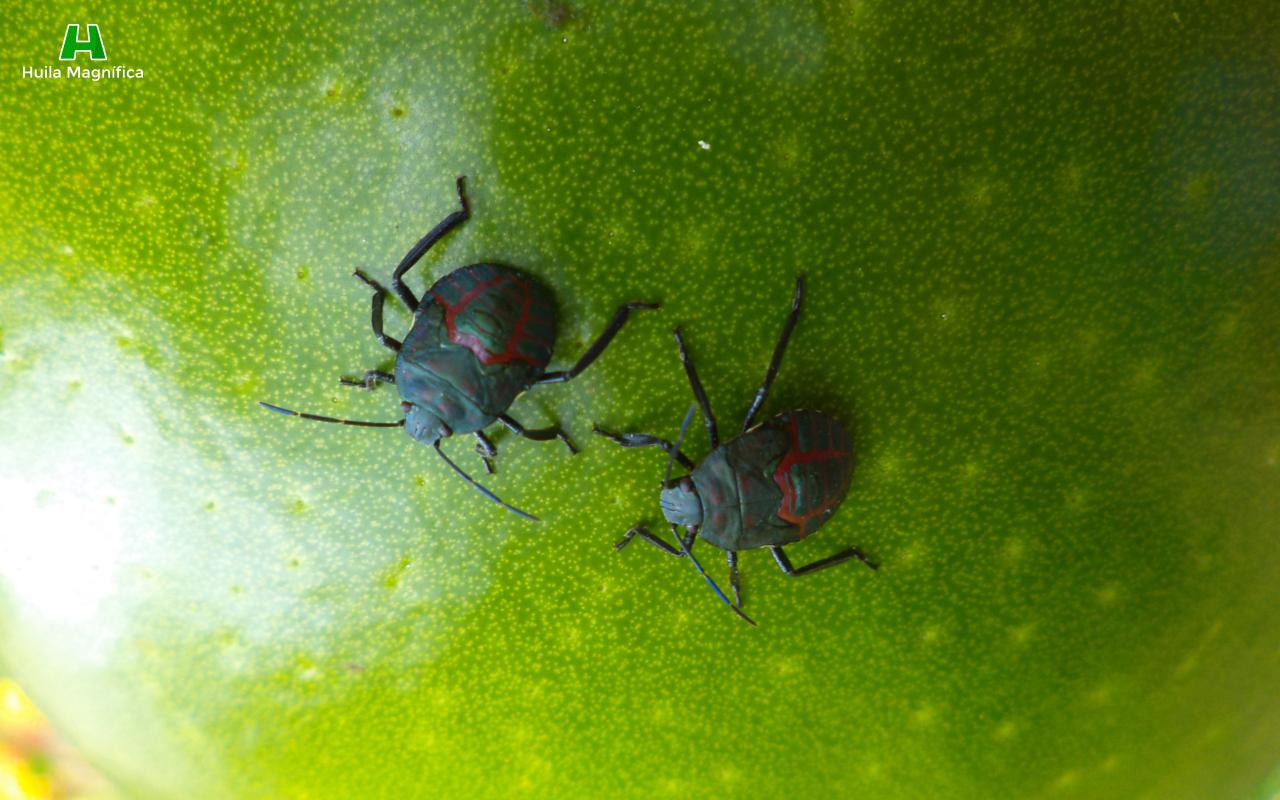 Insectos en Totumo