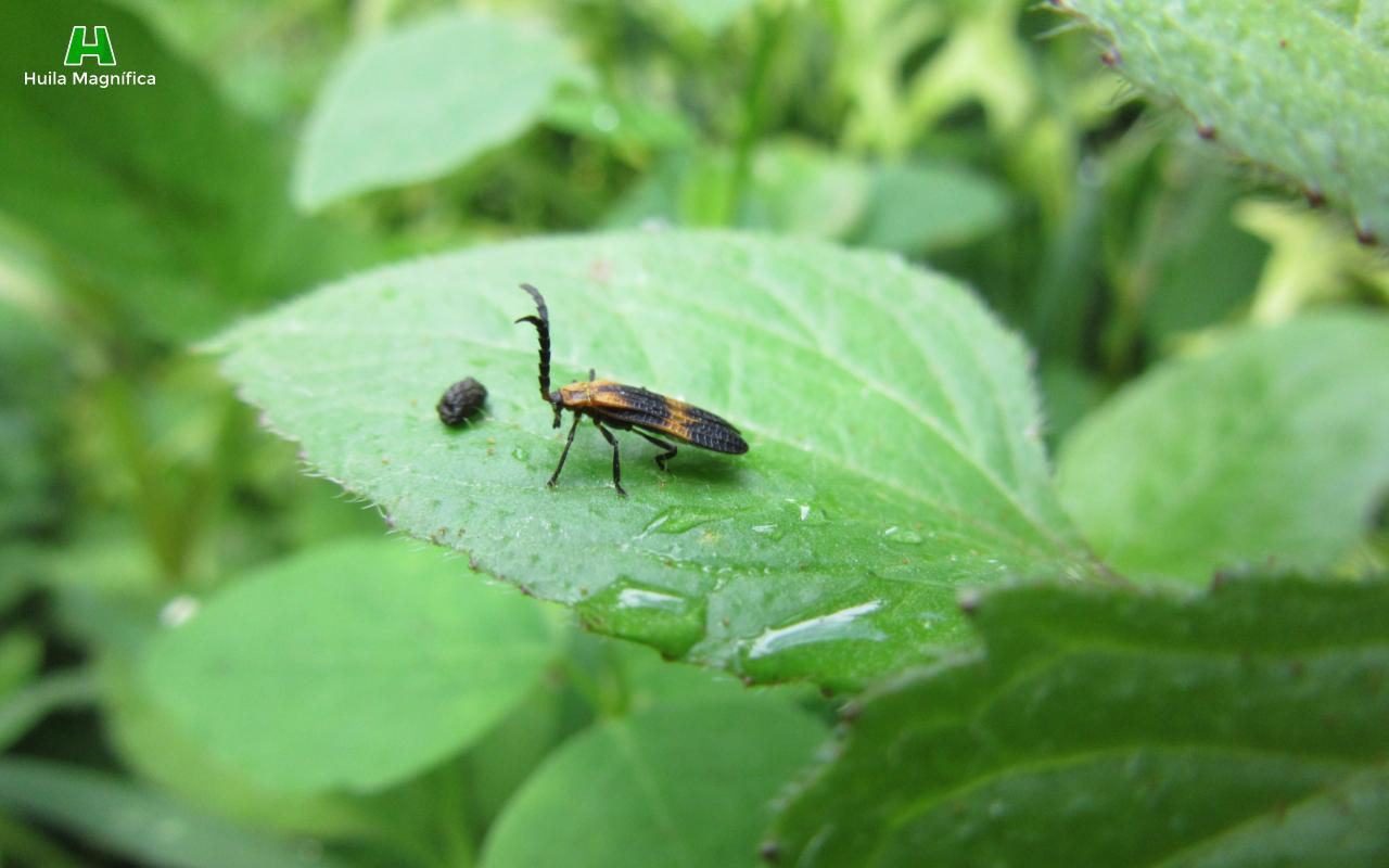 Huila Magnifica Insectos