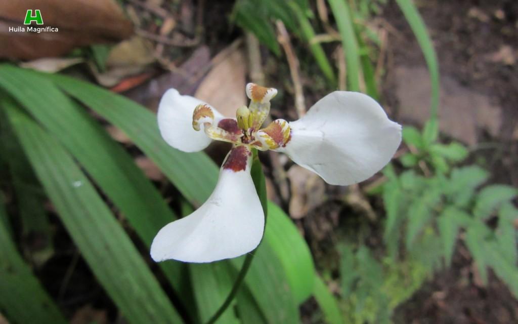 Orquídea/Cattleya