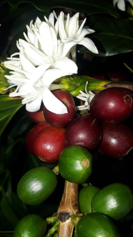 Cereza de café y flor