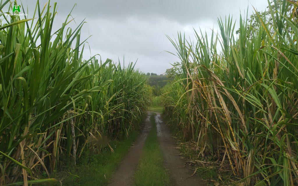 Cultivo de caña en Obando