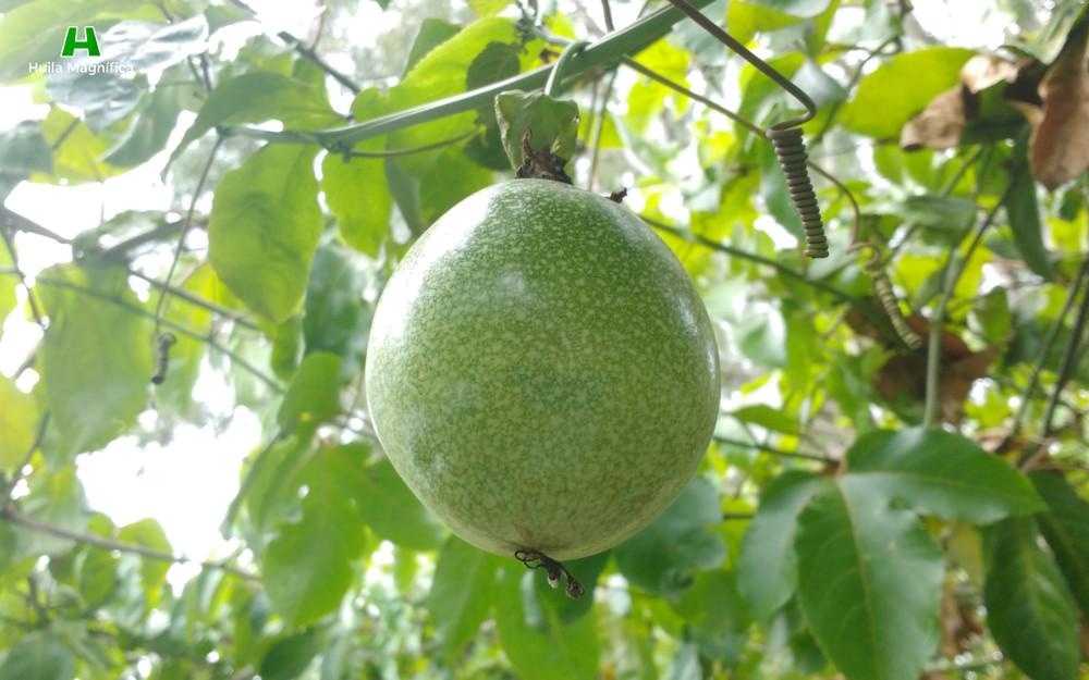 Cholupa del Huila - Fruta con Denominación de Origen