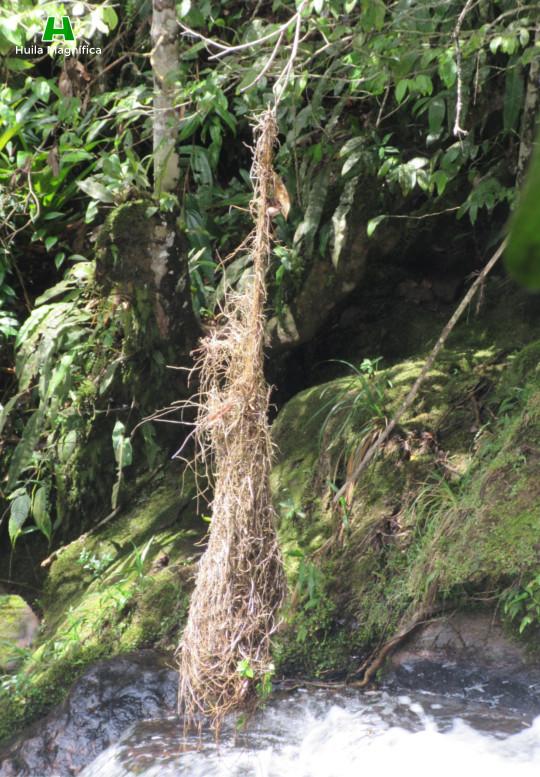 Nido del ave llamada Mochilero (Oropéndola)