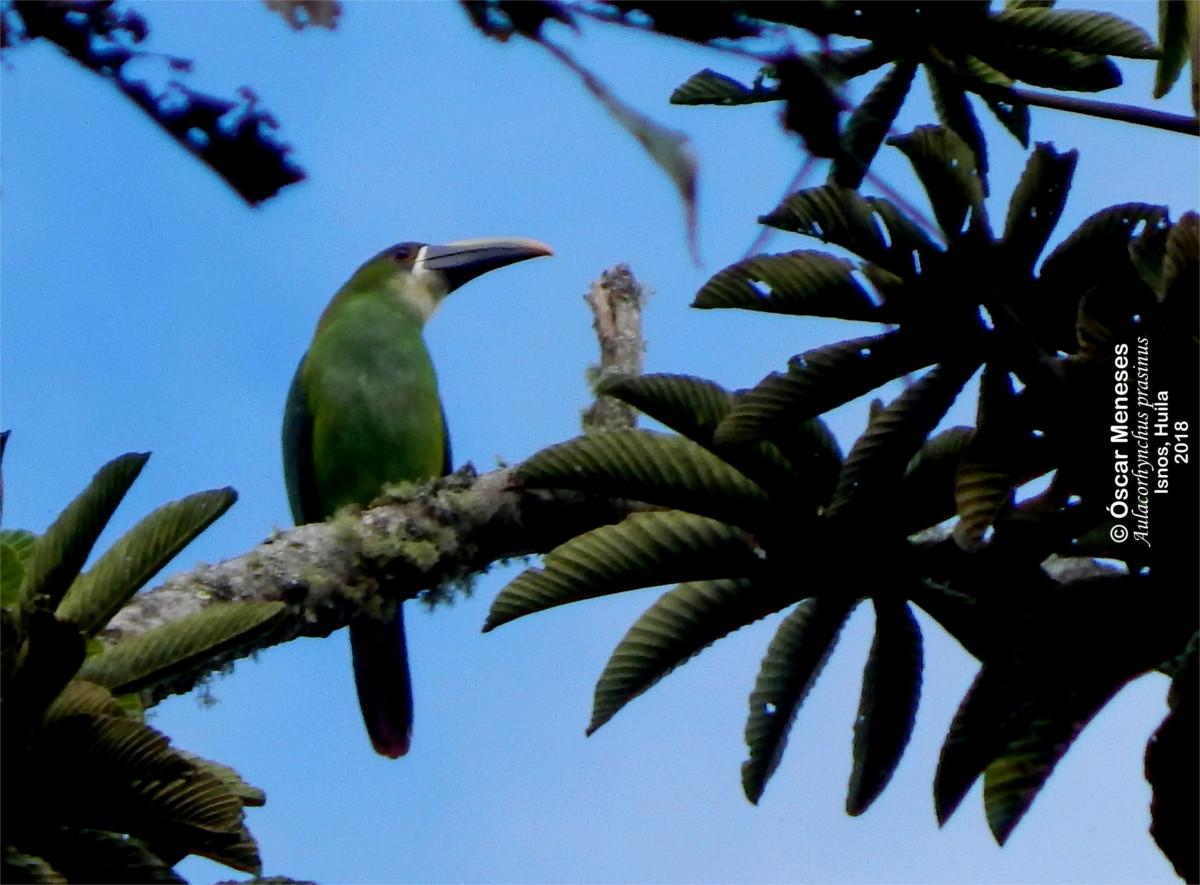 Aulacorhynchus prasinus - Tucancito Esmeralda - Autor: Óscar Meneses Cerón