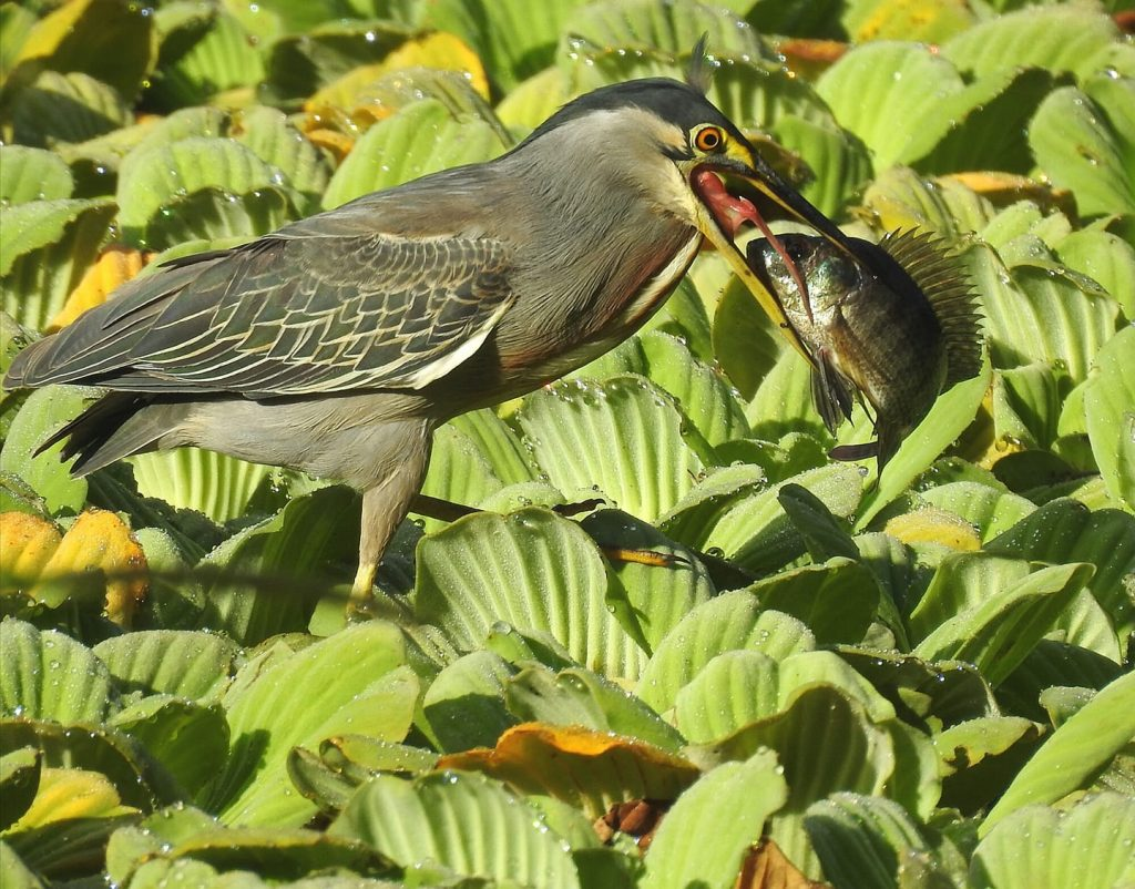 Butorides striata vs Andinoacara latifrons - Autor de la fotografía: Erik Camilo Gaitan Lopez