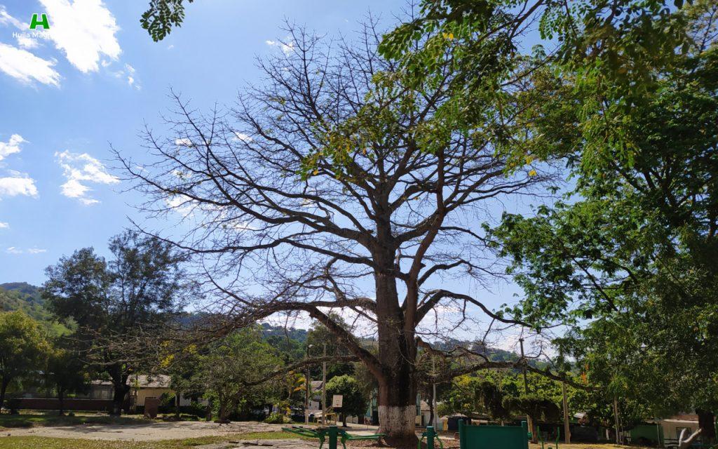 Ceiba y parque central de San Antonio de Anaconia
