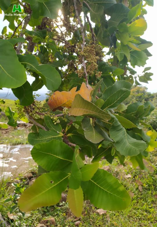 Árbol El Chaparro