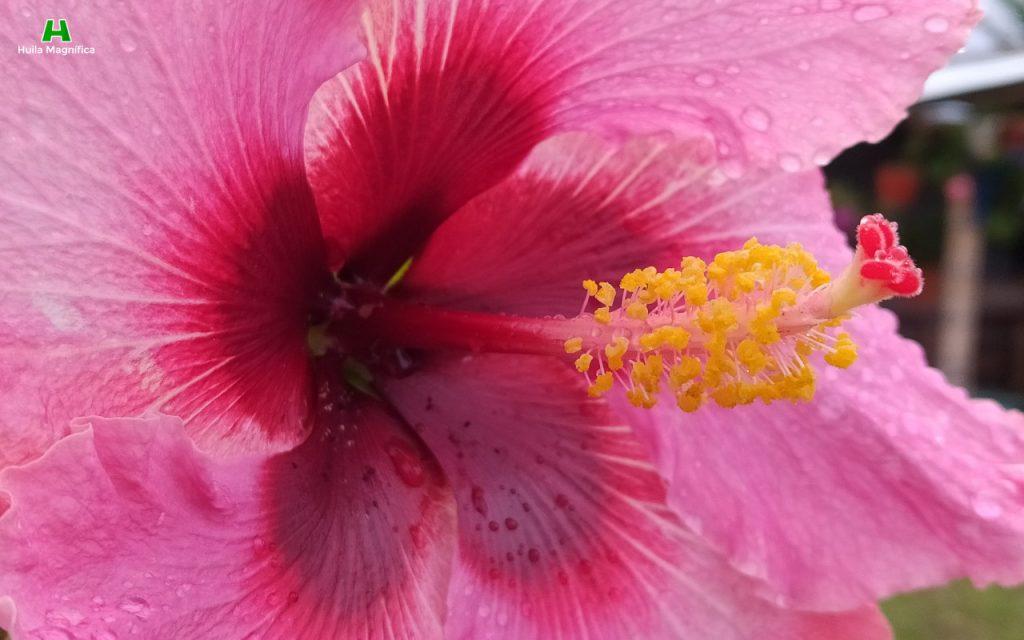 Flor Gólgota