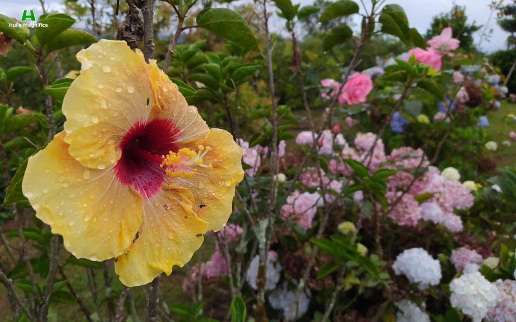 Flor de Gólgota
